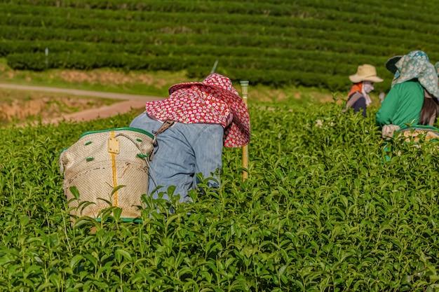 Frau, die morgens in der plantage des grünen tees, chiang rai, thailand arbeitet
