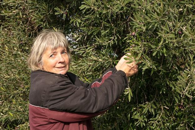 Frau, die oliven von hand pflückt