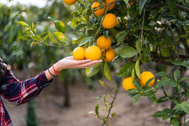 Frau, die orangen von einem baum nimmt. bio-gartenkonzepte.
