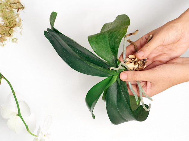 Frau, die orchidee zu hause verpflanzt