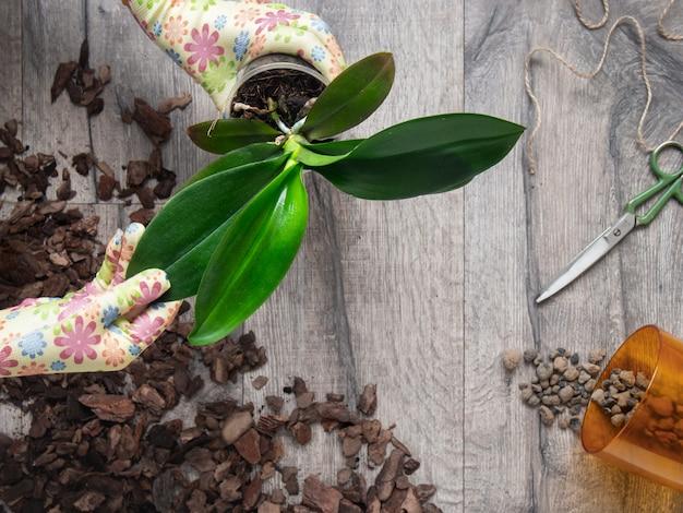Frau, die orchideenpflanze umpflanzt.