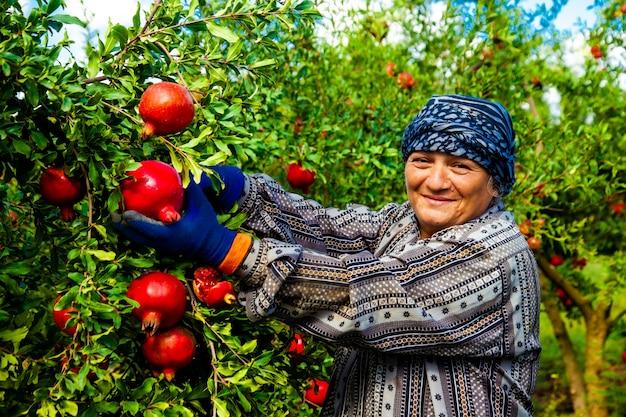 Frau, die rote granatäpfel von den bäumen auswählt