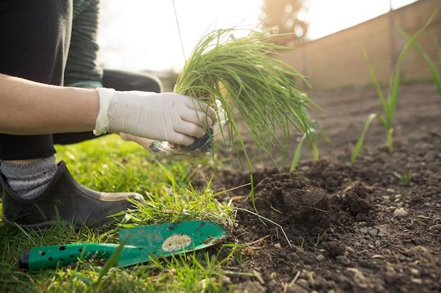 Frau, die schnittlauch an ihrem riesigen garten während reizender frühlingssaison, gartenkonzept pflanzt