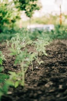 Frau, die tomaten im garten sprießt, sprießt in den boden auf ihrem hinterhofgarten. natürliche bio-lebensmittel