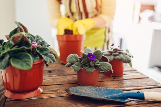 Frau, die violette anlage in einen anderen topf auf küche verpflanzt. hausfrau kümmert sich um heimische pflanzen und blumen