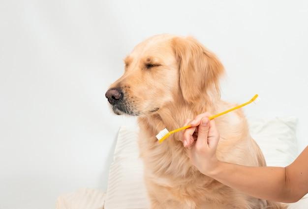Frau, die zähne zu einem goldenen retrieverhund mit zahnbürste zu hause putzt.