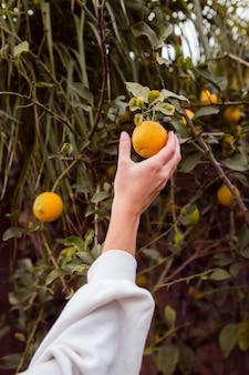 Frau, die zitrone im zitronenbaum hält