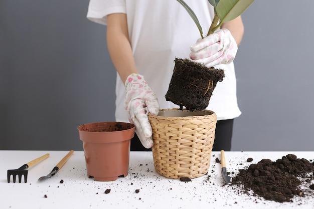 Frau, die zu hause ficusblume in einem neuen weidentopf, die zimmerpflanzentransplantation neu pflanzt. junge schöne frau, die für eingemachte zimmerpflanzen sich interessiert. skandinavischer stil. minimalismus. florist. umweltfreundlich.