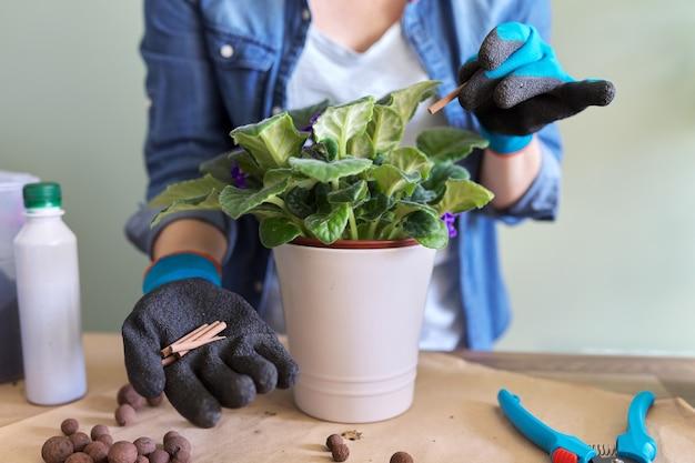 Frau düngt blühende saintpaulia im topf mit mineraldünger in stöcken zu hause. kultivierung und pflege von zimmerpflanzen. hobbys und freizeit, hausgärtnerei, zimmerpflanze