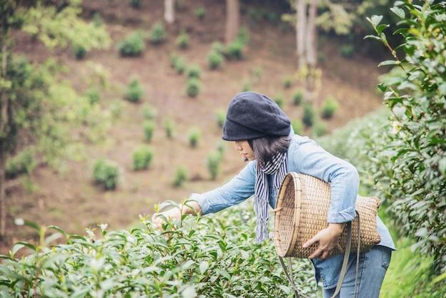 Frau ernten frische frische teeblätter am teefeld des hohen landes in chiang mai thailand