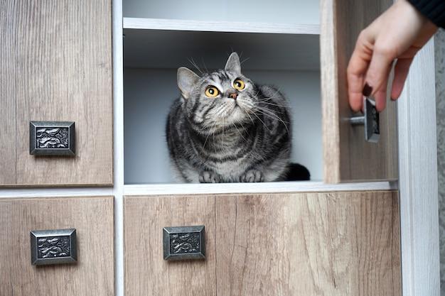 Frau fand ihre katze in einem schrank. porträt einer verängstigten katze mit großen augen. die hand einer frau öffnet den kleiderschrank, in dem die katze sitzt.