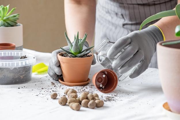Frau gärtner transplantation saftig. konzept der hausgartenarbeit und des pflanzens von blumen in topf, pflanzen hausdekoration