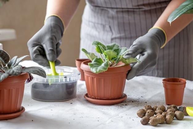 Frau gärtner transplantation violett. konzept der hausgartenarbeit und des pflanzens von blumen in topf, pflanzen hausdekoration