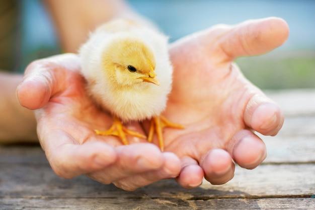 Frau hält ein gelbes kleines küken in den händen. frau kümmert sich um kleine tiere
