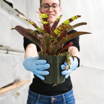Frau im gewächshaus, das frischpflanze zeigt