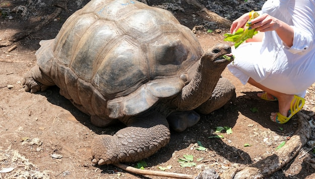 Frau im weißen kleid mädchen fütterung riesenschildkröte aldabra sansibar tansania afrika selektiver fokus selective