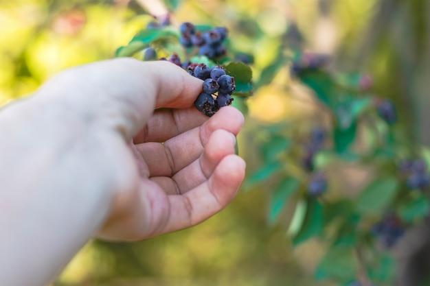 Frau kommissionierung shadberry. nahaufnahme der hand und der beeren, die auf dem busch, saisonernte wachsen. sommeressen. bio-ernährung. gesundes essen.