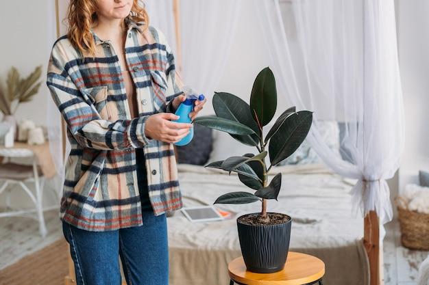 Frau kümmert sich zu hause um grüne topfpflanze, frau reinigt wischtücherblätter von ficus, hobbys, hausgartenkonzept