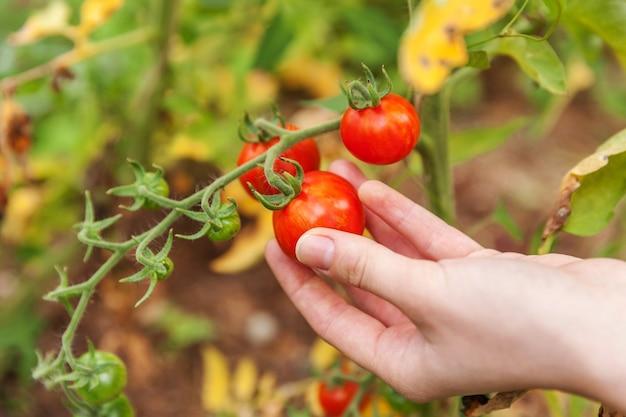 Frau landarbeiter hand pflücken frische reife bio-tomaten.