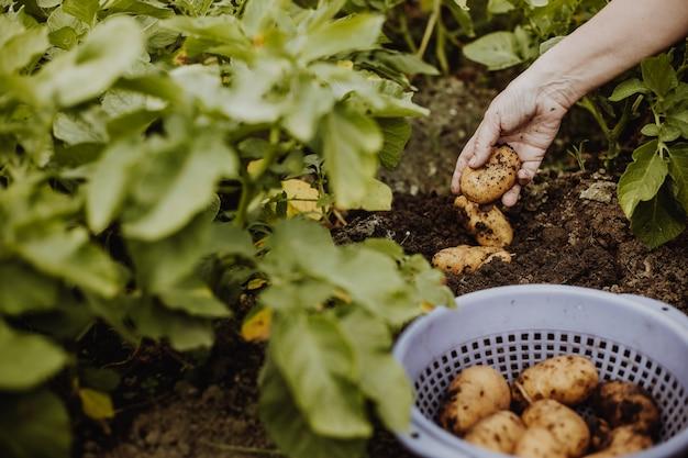 Frau landwirt, der frische kartoffeln von ihrem bio-garten, gartenkonzept hackt oder erntet