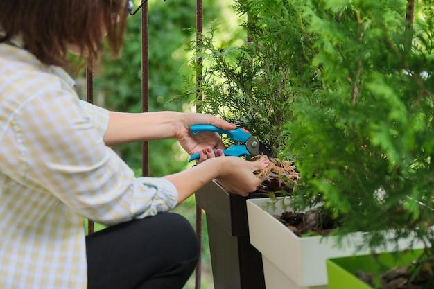Frau mit gartenschere, die für einen immergrünen jungen busch der thuja-pflanze im topf auf heimischem außenbalkon sorgt
