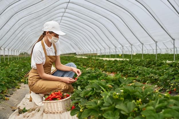 Frau mit gesichtsmaske beim ernten von erdbeeren im gewächshaus