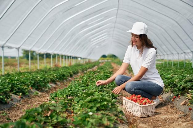 Frau pflückt erdbeeren im gewächshaus