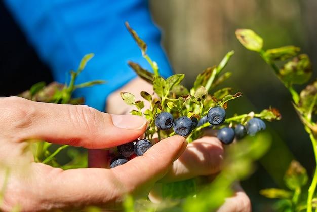 Frau sammelt bio-blaubeeren im wald. weibliche hände sammeln blaubeeren im sommerwald. frauenhände mit blaubeeren befleckt.