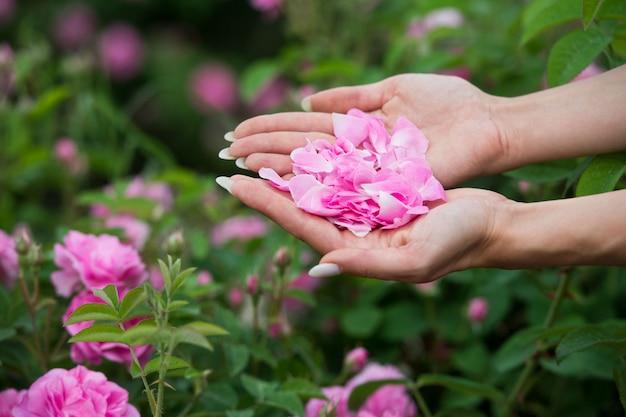 Frau sammelt rosenblätter für die herstellung von kosmetika bulgarien. aromatherapie. aromaöle. schönheit einer teerose. körperpflege.
