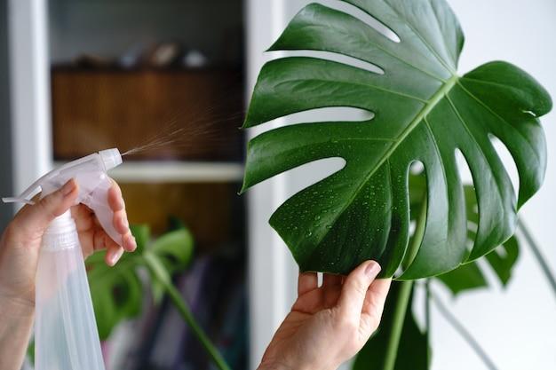 Frau sprüht monstera zimmerpflanze, befeuchtet blätter während der heizperiode zu hause. pflanzenpflege
