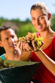 Frau und mann, die mit traubenerntemaschine arbeiten