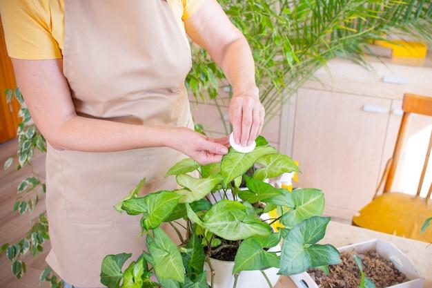Frau wischt ein grünes blatt ab, pflegt eine pflanze in einem topf pflege von zimmerpflanzen zu hause gartenarbeit