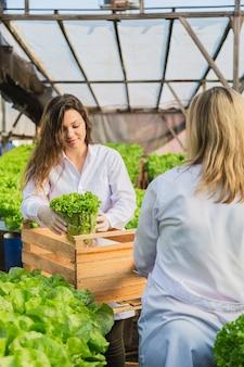 Frauen ernten hydroponischen salat.