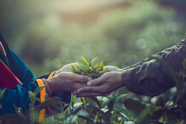 Frauen übergeben den finger, der teeblätter an einer teeplantage für produkt aufhebt