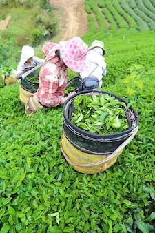 Frauen von thailand brechen teeblätter auf teeplantage bei chui fong, chiang rai, thailan