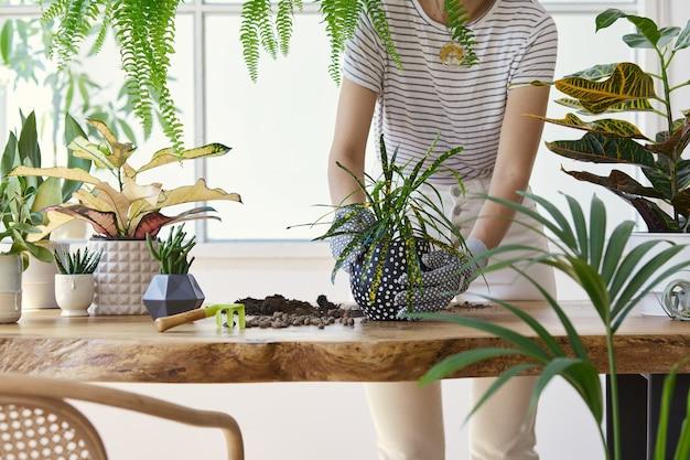 Frauengärtner, die pflanze in keramiktöpfen auf dem designholztisch verpflanzen. konzept des hausgartens. frühlingszeit. stilvolles interieur mit vielen pflanzen. pflege von heimpflanzen. vorlage.