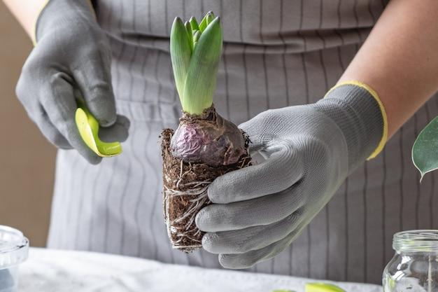Frauengärtnerhände, die hyazinthe halten. konzept der hausgartenarbeit und des pflanzens von blumen im topf