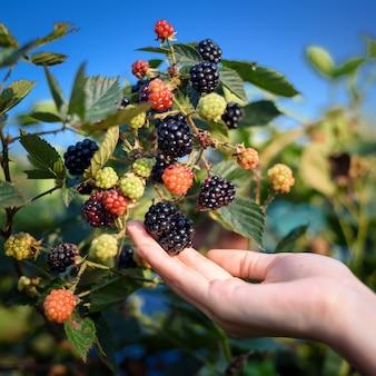 Frauenhände, die brombeere und himbeere in der gartenfruchtfarm pflücken
