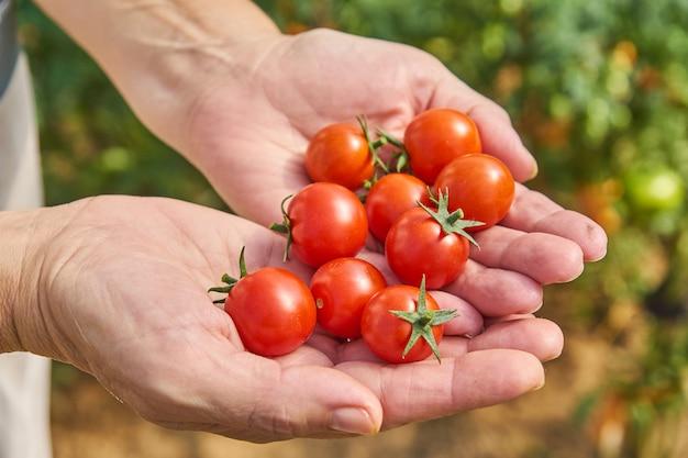 Frauenhände, die frische tomaten im garten an einem sonnigen tag ernten. landwirt, der bio-tomaten pflückt. gemüseanbaukonzept.