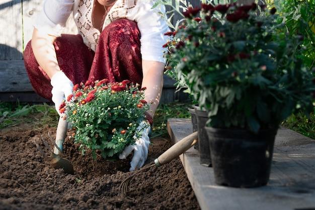 Frauenhände, die rote chrysanthemenblumen im garten im frühling oder sommer pflanzen.