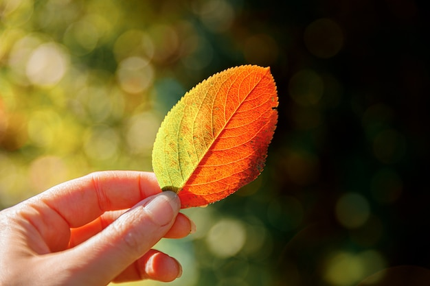 Frauenhände, die rotes orange blatt halten