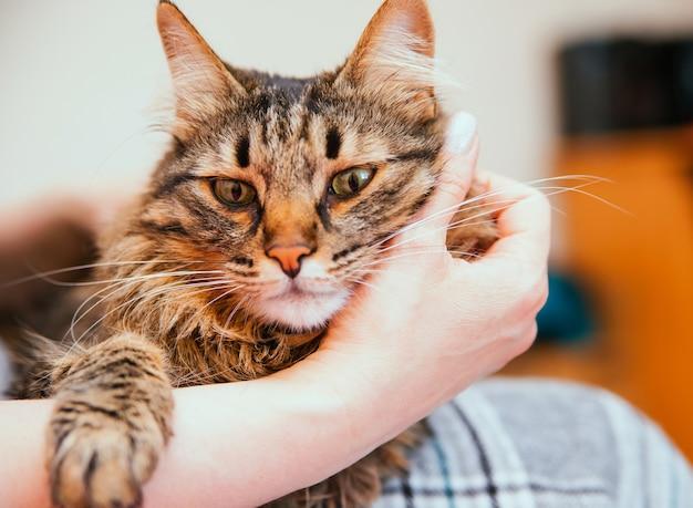 Frauenhände halten eine flauschige katze. der besitzer streichelt die katze. pflege und wartung von haustieren.