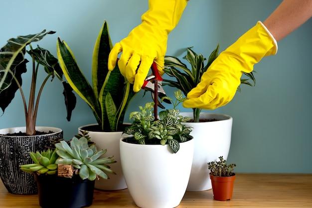 Frauenhände kümmern sich um pflanzen. indoor-hausgartenpflanzen. sammlung verschiedener blumen. stilvolle botanik-komposition des blauen hintergrundes des wohninnenraums. bleiben sie zu hause und gärtnern.