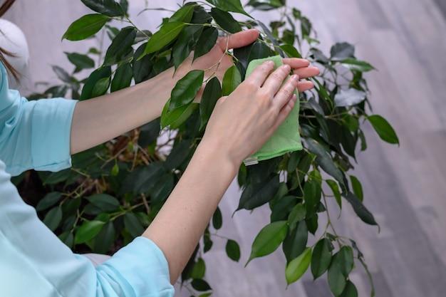 Frauenhände mit einem tuch aus mikrofaser wischen den staub von den grünen blättern ab, pflegen pflanzen