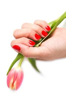 Frauenhände mit roter maniküre und tulpe
