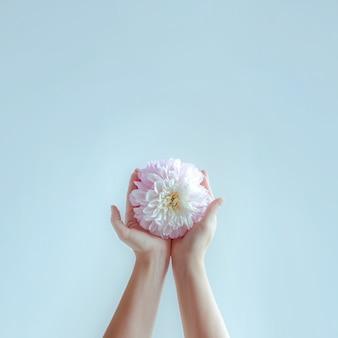 Frauenhände strecken zarte blüten aus.