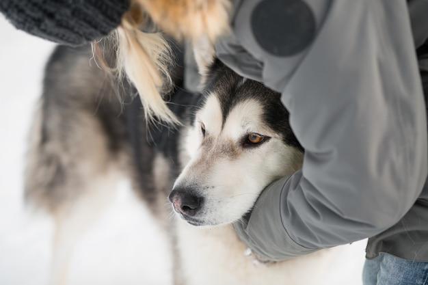 Frauenhand, die alaskischen malamute-hund im schneewinter umarmt
