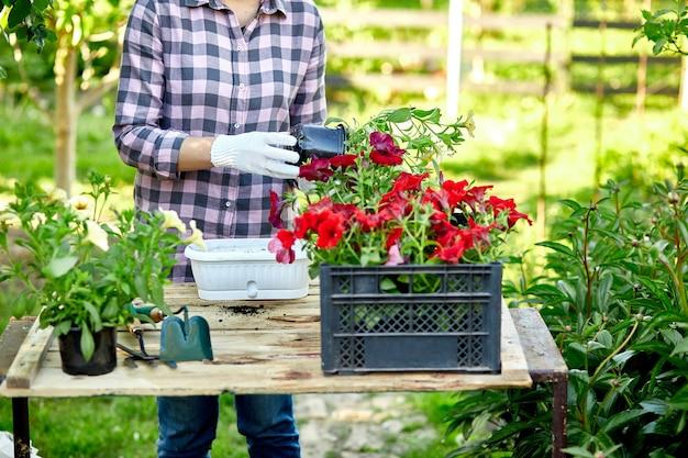 Frauenhand, die blumen petunia, gärtner mit blumentopfwerkzeugen pflanzt.