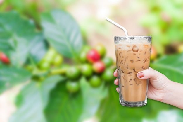 Frauenhand, die den glas-eiskaffee auf frischen kaffeebohnen im kaffeepflanzenbaum hält