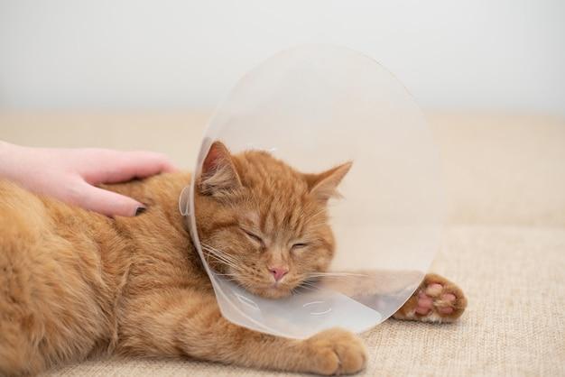 Frauenhand, die eine kranke ingwerkatze in einem tierarzthalsband streichelt. ingwerkatze mit elisabethanischem kragen des tierarztes, der auf der couch im raum schläft. nahansicht.